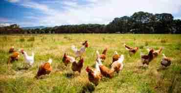 Poultry farming - Bird Flu