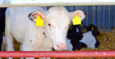 Lungworm vaccination for dairy farmers