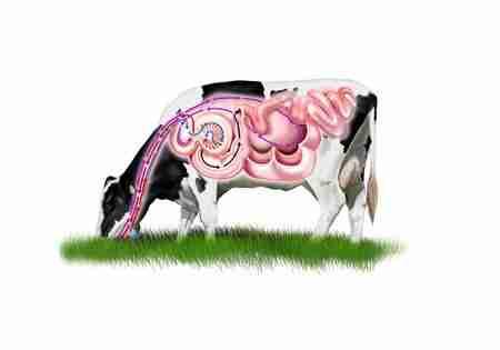 Ruminants digestive system