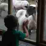 Sheep and kids - farm nursery