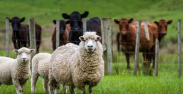 Liver fluke in sheep and cows